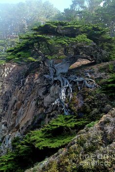 Point Lobos Veteran Cypress Tree