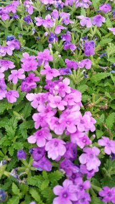 Verbena Obsession Lilac