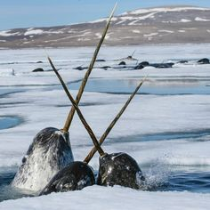 Photograph by @paulnicklen for #NatgeoEarthDay.  Narwhals cross tusks as they scramble for a breath of air in the Canadian Arctic.  They are feeding under the sea ice on polar cod.