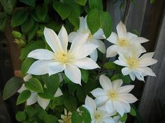~Clematis 'Wada's Primrose' MM-NO** Zone 4, hardy , not so vigourous, compact , decidusous climber, 6-8ft, tin weak steams carry large primrose ***yellow**** flowers 6-7 inches, attactractive seed heads, group 2 pruning. prefers semi shade to preserve colour