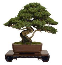 bonsai pics - Google Search