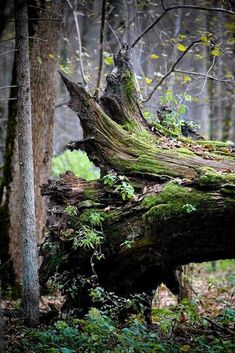 The fallen oak in the woods lived on Woodland Forest, Tree Forest, Beautiful World, Beautiful Places, Beautiful Pictures, Moss Garden, Old Trees, Walk In The Woods, The Great Outdoors