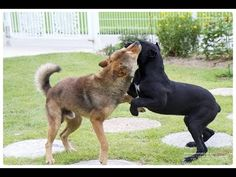 cane corso 8 months VS korean jindo dog 2year