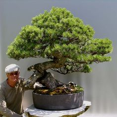 THE KING (Pinus mugo)