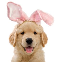 Easter Bunny Golden Retriever puppy