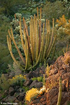 Organ Pipe Cactus National Moument, Arizona; photo by Ron Niebrugge