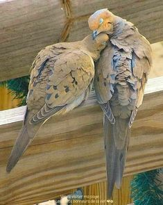 You may hear the lovely call of the Mourning Dove. They mate for life and are very affectionate. They are considered to be Love Birds. Pretty Birds, Love Birds, Beautiful Birds, Animals Beautiful, Animals And Pets, Cute Animals, Dove Pigeon, Photo Animaliere, Mourning Dove