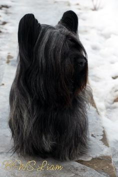 Pictures of Skye Terrier Dog Breed