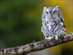 Eastern Screech Owl - Assiolo americano orientale (Megascops asio, formerly Otus asio)