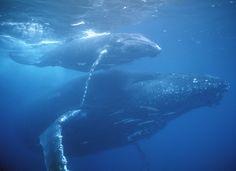 Baleias Jubartes - Mãe e Filhote