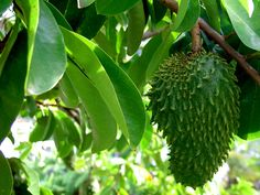 Annona muricata - an anti cancerous medicinal plant