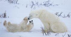 Polar Bear mother and cub in Hudson Bay; Canada. © Daniel J. Cox/NaturalExposures.com