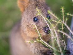 Quokkas Are The Happiest Animals In The World Happy Animals, Farm Animals, Funny Animals, Cute Animals, Country Critters, Australia Animals, Quokka, Animals Of The World, Otters