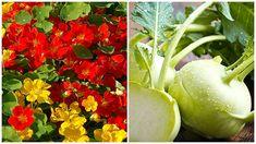 Lichořeřišnice a kedlubna, Foto: Semo/iStock Honeydew, Stuffed Peppers, Vegetables, Fruit, Food, Gardening, Chemistry, Lily, Stuffed Pepper