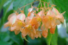 ベゴニア Begonia