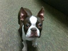Boston Terrier tp is an adoptable Boston Terrier Dog in Fresno, CA. You can fill out an adoption application online on our official website. ACT is working hard to save lives in our community. In an e...