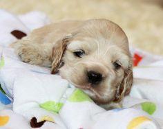 Cocker Spaniel pup