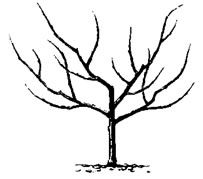 Fruit Trees- open center pruning, good for peaches