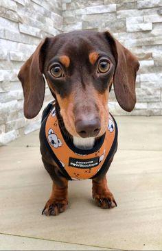 Dachshund Puppies, Dachshund Love, Beagle Dog, Unique Dog Breeds, Cute Dogs Breeds, Alaska Dog, Miniature Dachshunds, Sausage Dogs, Cutest Dogs