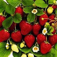 Honeoye Strawberry | Nature Hills Nursery