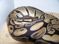 Reptile Nova : Python regius, Python royal