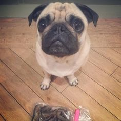 Not taking any chances tonight after last nights debacle says Mabel... I'm gonna smuggle this bag of dried fish to bed.. Nighty night folks & we'll see you in the morning..  #goodnight #weeklyfluff #wednesday #pugbasement #feature_do2#dogsofinstagram #pugmob #pugnation #zerozeropug #puglove #smilingpugs #pugrequest #flatnosedogsociety #TheTomCoteShow #pugsandkisses #puglife #insta_dogs #sendadogphoto #Beoncanadianpugs #pug #lacyandpaws #speakpug #pugsofinstagram #pugs #pugsproud_feature…