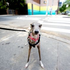 Pixel, Italian Greyhound, Suffolk & Stanton St, New York, NY//the dogist