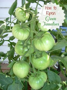 How to ripen Green Tomatoes Indoors - The Gardening Cook