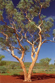 Beautiful tree western australia 46 Ideas for 2019 Western Australia, Australia Travel, Queensland Australia, Melbourne Australia, Australia Landscape, Australian Plants, Australian Bush, Australian Artists, Eucalyptus Tree