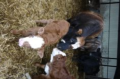Calves at Yockletts Farm Luxury Holidays, Calves, Cow, Animals, Baby Cows, Animales, Animaux, Cattle, Animal