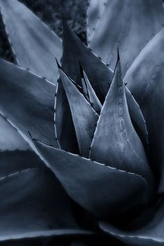 Drawing inspiration Agave a suculent plant native to southern US & tropical America. A natural sweetner used in place of white sugar & high-fructose corn syrup. Agaves, Suculent Plants, Azul Indigo, Indigo Blue, No Rain, Agave Plant, Cacti And Succulents, Succulent Gardening, Succulent Arrangements