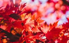 Fall Leaves, Are They Toxic for Horses? Fall is a pretty time of the year; however, falling leaves and other parts of some trees can pose a potentially deadly threat to our horses.
