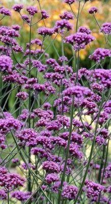 garten pflanzen 50 X Verbena Bonariensis - Ijzerhard Pot Amazing Gardens, Beautiful Gardens, Tivoli Gardens, Flower Meanings, Rooftop Garden, Garden Care, Backyard Projects, Flora, Flower Beds