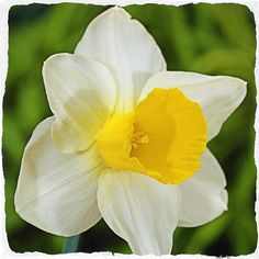 As a very robust giant #flowering daff, this Bravoure (N0101) is great as a stand out #flower in your #garden #dejager #daffodil