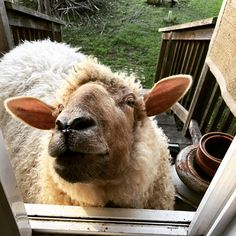 Fred at the drive-thru window. #cheerios #snacktime #specialpriveleges #sheepgenius #princeofthepasture #sheep #petsheep #goldenboy #❤️