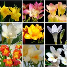 Freesia is a genus of herbaceous perennial flowering plants in the family Iridaceae, first described as a genus in 1866 by Chr. Fr. Echlon and named after German botanist and doctor Friedrich Freese. Wikipedia