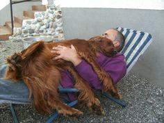 Irish Setter als Familienhund
