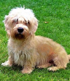 Because of this breed's modest size, a lot of Dandie Dinmont Terriers create Small Dog Syndrome, human induced behaviors where the dog believes he's king of the residence. Terrier Breeds, Terrier Dogs, Terriers, Small Dog Breeds, Small Dogs, Dandie Dinmont Terrier, Hypoallergenic Dog Breed, Companion Dog, Cool Pets
