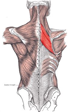 Rhomboid Muscles, a Tucked Pelvis and the Psoas