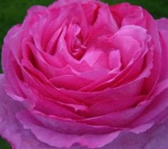 """Yves Piaget Hot Pink Garden Rose / """"cabbage rose""""/ 144 stems for $360"""