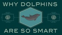 How smart are dolphins?  Awesome video via TED-Ed and The Kid Should See This (4 min, 48 seconds)