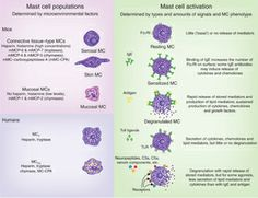Mast cell functions | Cytology | Pinterest