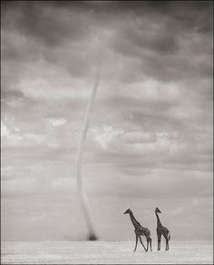 Nick Brandt - Giraffes with Dust Devil, Amboseli, 2007 | From a unique collection of photography at http://www.1stdibs.com/art/photography/