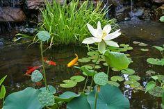coy and lotus pond