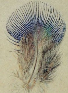 Study of a Peacock Feather, 1873. John Ruskin