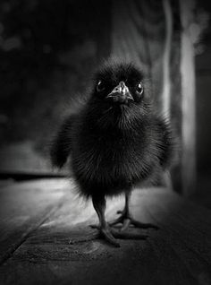 baby raven, I& raised an orphan sparrow . if I ever find an orphan who fell out of it& nest again I hope it& a raven! Black Is Beautiful, Beautiful Birds, Animals Beautiful, Vida Animal, Mundo Animal, Black Animals, Cute Animals, Photo Animaliere, Crows Ravens