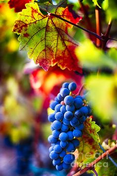 Fall Colors Of Napa Valley