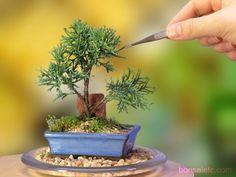Indoor Flowering Plants, Indoor Bonsai, Bonsai Plants, Bonsai Garden, Bonsai Trees For Sale, Bonsai Tree Care, Juniper Bonsai, Juniper Tree, Mame Bonsai