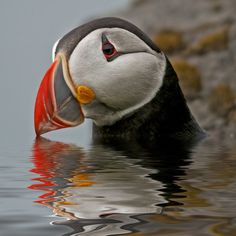 Espectacular imagen de un Pufinn, ave nacional de Islandia | Foto: Tói Vídó