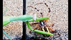 Today we show you what happen wjen the big praying mantis attacks the big yellow spider. Look at the Insects vs insects attacks n the wild nature! Big Yellow, Praying Mantis, Wild Nature, Spider, Insects, Spiders